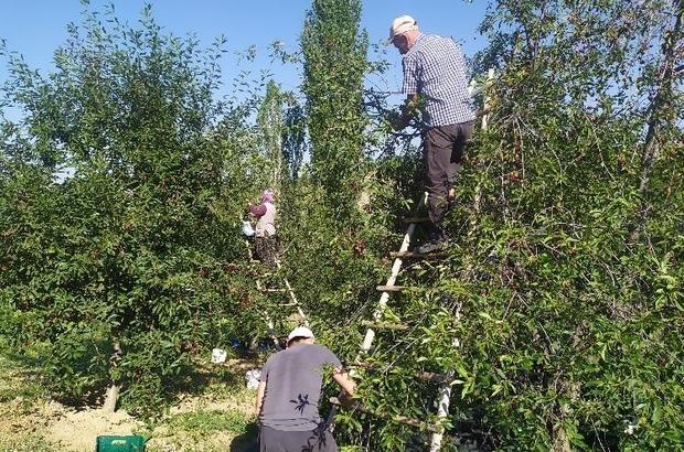(Özel) Kütahya'da vişne sezonu Yıllık 15 bin ton vişne rekoltesinin elde edildiği Pazarlar'da yaklaşık 3 bin aile geçimini vişneden sağlıyor