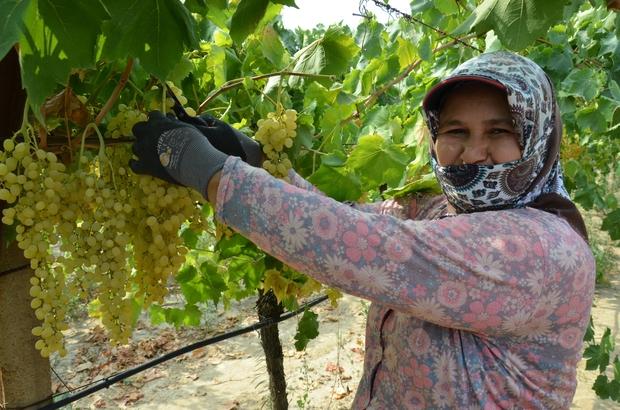 Dünyaca ünlü çekirdeksiz Sultani üzümde hasat başlıyor Manisa İl Tarım ve Orman Müdürü Metin Öztürk, dünyaca ünlü çekirdeksiz Sultani üzümde hasadın 5 Ağustos'ta, ihracatın ise 6 Ağustos'ta başlayacağını açıkladı