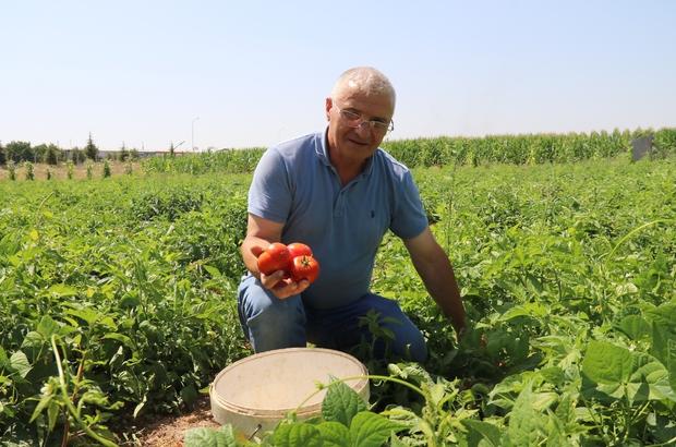 Bu domatesler dalından vatandaşa ulaştırılıyor Üretimden, satışa aracısız domates