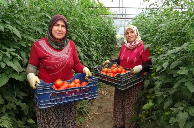 """Isparta'da yayla şartlarında domates hasadı Deregümü köyünde bu sezon 10 bin ton domates rekoltesi bekleniyor Köy muhtarı Toprakçı: """"Arılı ürettiğimiz domatesleri tüketiciler gönül rahatlığıyla tüketebilirler"""""""