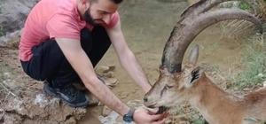 Hasta yaban keçisini 3 kilometre sırtlarında taşıdılar