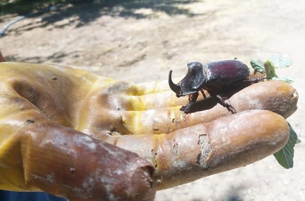 Kayısı bahçesinde dünyanın en güçlü böceğini buldu