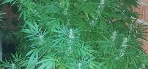 Köyde 2 metre boyunda kenevir yetiştirirken yakalandı Köy evinde 78 kök kenevir bitkisiyle yakalandı