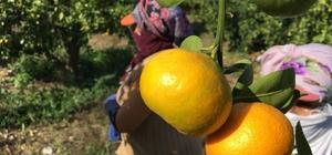 Vitamin deposu narenciyede rekolte düşüşte Küresel iklim krizi narenciye rekoltesini etkiledi