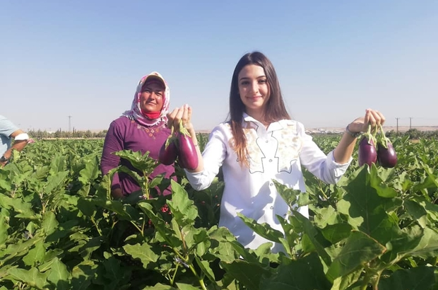 Kaymakam Uçar, patlıcan hasadı yaptı Doğal kurutmalık merkezi: Oğuzeli