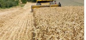 Pazarlar'da yerli buğdayın deneme ekiminden yüksek verim alındı