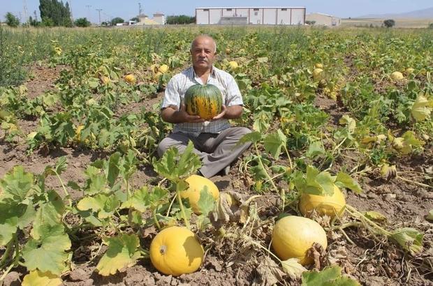 Kabak hasadına günler kala Tomarza Kabağı'na özel şiir