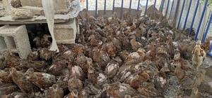 Adıyaman'da 300 sülün doğaya bırakıldı