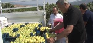 Hatay'da yılda 3 bin ton incir yetişiyor
