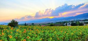 Gün batımında ayçiçeği kartpostallık görüntüler oluşturdu Kahramanmaraş'ta ayçiçeği görsel şölen sunuyor