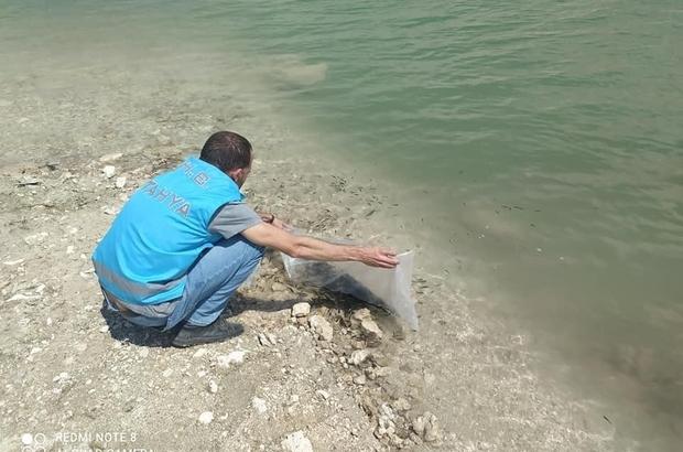 Çavdarhisar barajına 15 bin yavru sazan balığı bırakıldı