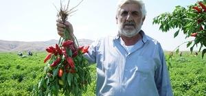 Çiftçi, fide desteğinden memnun Kahramanmaraş'ta  2,5 milyon biber fidesi hasat edilmeye başlandı