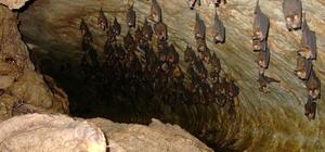 Akdeniz Nalburunlu Yarasasını görmek isteyenler lav tüpü mağarasını ziyaret ediyor