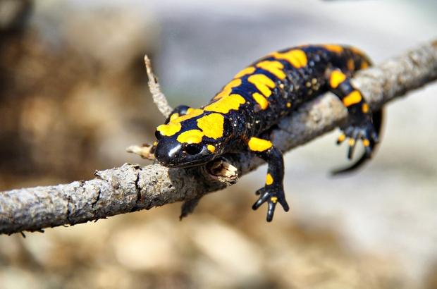 Kahramanmaraş'ta sarı benekli semender görüntülendi