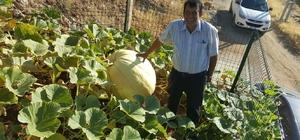 Avrupa'dan getirdiği tohumla 100 kiloluk 265 santimetre çapında kabak yetiştirdi