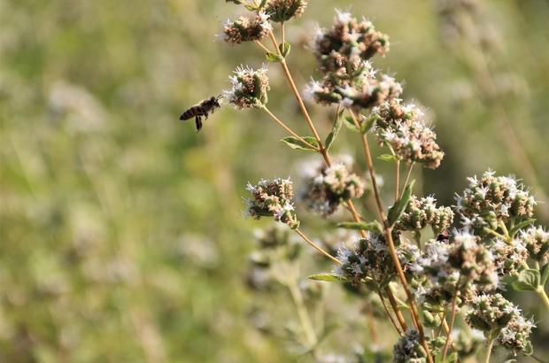 """(ÖZEL) Bu bitkiler sayesinde bal üretimi iki katına çıkıyor Arıların çiçeklenme süresi şifalı ve aromatik bitkilerle azalıyor Eskişehir Osmangazi Üniversitesi Ziraat Fakültesi Öğretim Üyesi Doç. Dr. Duran Katar: """"Türkiye'de aynı kovan sayısıyla bal üretimini iki katına çıkartma imkanımız var"""""""
