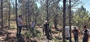 Emet ormanlarında inceleme