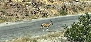 Koruma altındaki yaban keçileri Munzur ve Pülümür Vadisi'nde görüntülendi