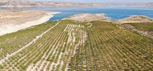 Devletten destek aldı, bin dönüm arazi üzerine ektiği bademlerin hasadına başladı Elazığ'ın Ağın ilçesinde başlayan badem hasadı 45 kişiye ekmek kapısı oldu