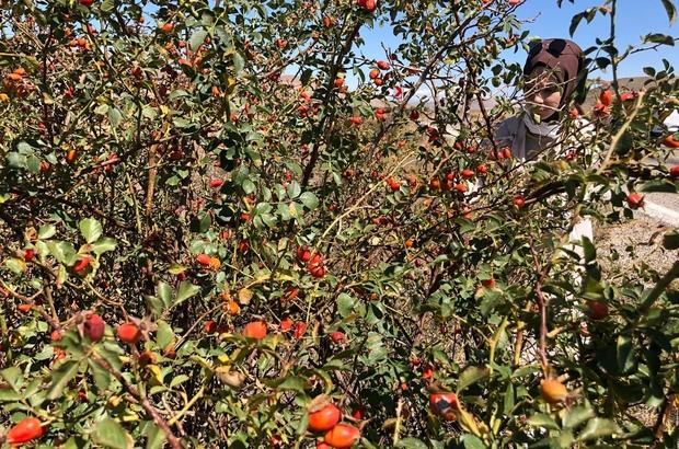 Dikenli dallardan toplanan kuşburnular köylerde yorucu bir çalışmanın ardından marmelat olarak kavanozlara giriyor