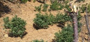 Bingöl'de bin 100 kök kenevir ve 21 kilo esrar ele geçirildi