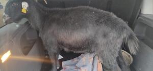 Kahramanmaraş'ta küçükbaş hayvan hırsızlığı