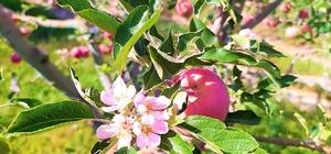 Aylar sonra gelen yağışla şaşıran elma ağacı hasat zamanı çiçek açtı
