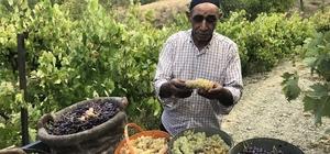 Üzümün pekmez yolculuğu Geleneksel yöntemlerle yerel çeşit üzümlerden yapılan pekmez, zorlu bir üretim sürecinin ardından tüketime hazır hale geliyor