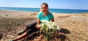 Bu çiçeği koparmak bir servete mal oluyor Nesli tükenmek üzere olan kum zambaklarını kökünden koparmanın cezası 173 bin lira