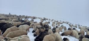 Doğu Karadeniz Yaylaları'nda erken görülen kar yağışı en çok onları etkiledi 750 küçükbaş hayvanını karla kaplı yaylada otlatmaya çalışıyor