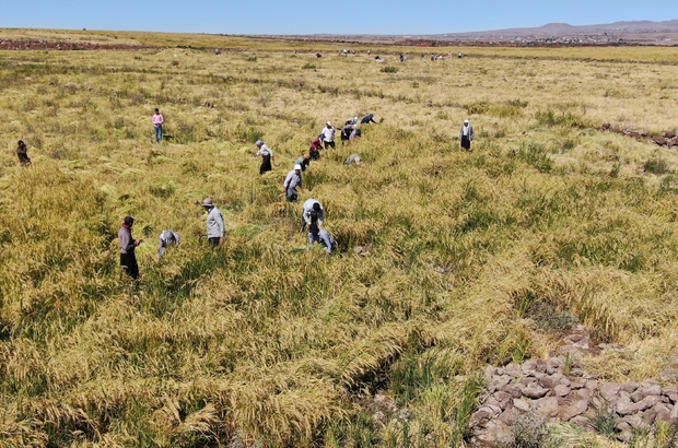 (Özel) Karacadağ pirincinin zorlu hasadı başladı