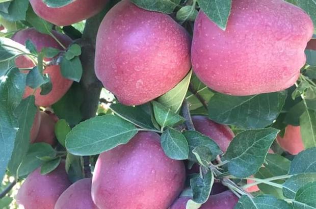 Mut'ta 22 bin ton elma rekoltesi bekleniyor Üreticiler tüccarların alım yapmamasından dertli