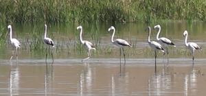 Flamingolar göç yolculuğunda Tokat'ta konaklıyor