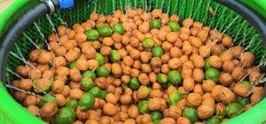 (Özel) Edirne'de ceviz hasadı başladı Cevizin başkenti Karaağaç köyünde hasat başladı