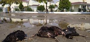Enez'de aç kalan köpekler 9 tavuk ve 1 horozu telef etti