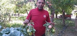 Milletvekili elma hasadına katıldı Gençlik dönemlerini anımsayan Sivaslı milletvekili, elma bahçesine girerek Meclisteki vekil arkadaşları için elma topladı