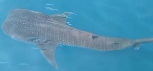 Samandağ açıklarında köpek balığı şoku