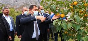 Amasya'da cennet hurması hasadı başladı: 600 tondan fazla rekolte bekleniyor