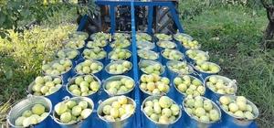 Bursa'da hasat edilen armutların 3 tanesi 1,5 kilo