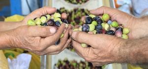 Zeytinyağının zahmetli ve tatlı biten yolculuğu Yılda yaklaşık olarak 400 bin ton zeytinin üretildiği Mersin'de yağlık zeytin hasadı başladı